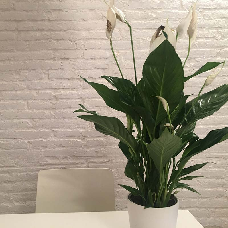 Peace Lily office plant